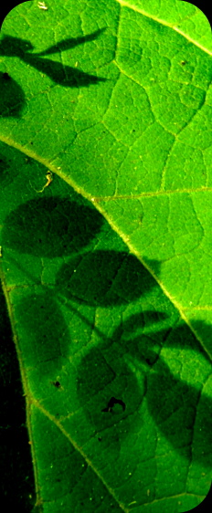 the shadow of some leaves on a larger, sunlit leaf