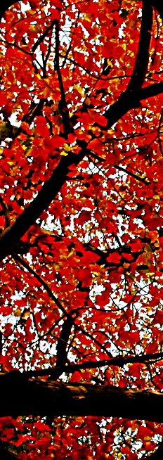 red leaves illuminated by the sun and broken up by the dark underside of branches
